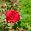 The Red rose — Stock Photo #19796041