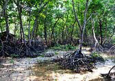 The Buttress roots for survival of the mangrove — Stock Photo