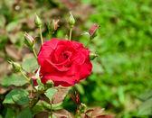 La rosa roja — Foto de Stock
