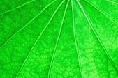 The Green leaf of lotus background texture — Stock Photo