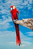 The Beautiful macaw isolated on white background — Stock Photo