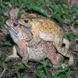 Close up of a pair of toad — Stock Photo