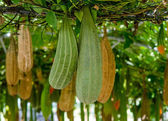 All Angled gourd hanging on vine — Stock Photo