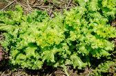 新鮮なレタス農場を植えること — ストック写真