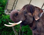 слон в зоопарке — Стоковое фото