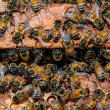 Bees working on honeycomb — Stock Photo #29085673