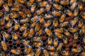 Bees working on honeycomb — Stockfoto