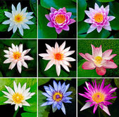 Collection of lotus — Stock Photo