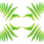 Closeup fern leaf isolated on white background — Stock Photo