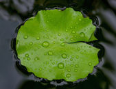 Water drop on lotus leaf — Stock Photo