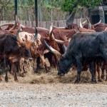Wild buffalo in zoo — Stock Photo