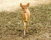 Young deer in farm — Stock Photo