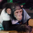 Young chimpanzee — Stockfoto