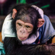 Stock Photo: Young chimpanzee