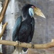 Wreathed Hornbill (Aceros Undulatus)  — Photo