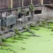 Crocodile pond — Stock Photo