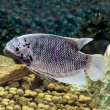 Beautiful tilapia fish in water tank — Stock Photo