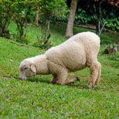 Stretching lamb in farm — Stock Photo