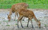 Mladý jelen ve farmě — Stock fotografie