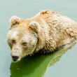 Grizzly bear in zoo — Stockfoto