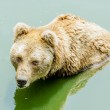 Grizzly bear in zoo — Stock Photo
