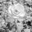 Beautiful View Black and White rose in the garden — Stock Photo