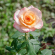 Beautiful orange rose in the garden — Stock Photo
