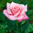 Beautiful pink rose in the garden — Stock Photo