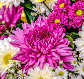 Colorful of magenta chrysanthemum — Stock Photo