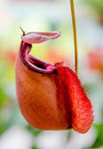 Nepenthes or Monkey Cups — Stock Photo