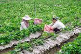 Mae Hong Son, THAILAND - Nov. 23: Woman Harvests pick Strawberry — Stock Photo