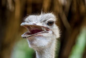 Head of ostrich — Stock Photo