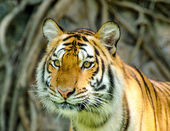 Beautiful sumatran tiger — Stock Photo