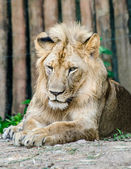 Big lion in zoo — Stock Photo