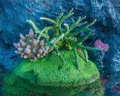 Hard Coral — Stock Photo