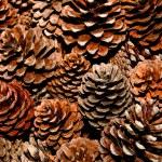 The Pine cone — Stock Photo #9643055