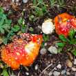 Mushrooms with Red Spots — Stock Photo #18952787