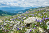 Colorado Wildflowers Mountain Landscape in Summer — Stock Photo