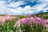Colorado Wildflowers Blooming in Summer — Stock Photo