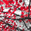 Red Fall Leaves on Black and White — Stock Photo
