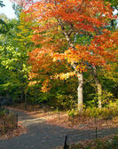 Colorful Fall Tree in Central Park, New York City — Foto de Stock