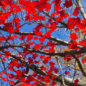 Red Fall Leaves and Blue Sky Background — Stockfoto