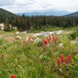 Wildflowers Blooming in the Colorado Mountains — Stock Photo #41046503