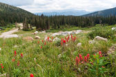 Wildflowers Blooming in the Colorado Mountains — Stock Photo