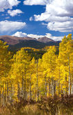 Thick Aspen Forest in Fall — Stock Photo