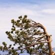 Wind Swept Tree — Stock Photo #46518921