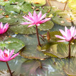 A pink water lily — Stock Photo
