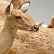 Stock Photo: Gazelle portrait