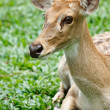 Gazelle portrait — Stock Photo