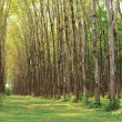 Para rubber tree plantation — Stock Photo